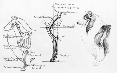 collie illustrations anatomy